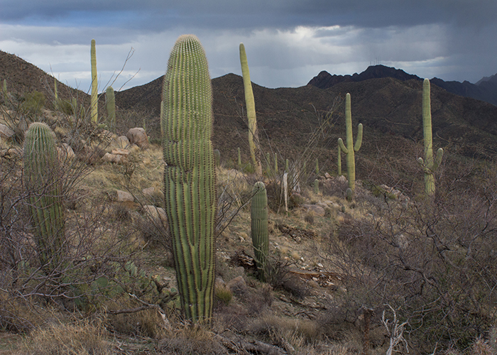 Cactus Corridors and Pima County Peril!